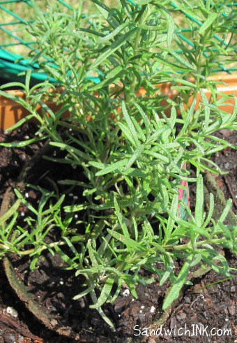 Grow rosemary plants and you will never run out of dried rosemary s