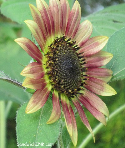 This sunflower reminds me of autumn and being a baby boomer in the autumn of life - my favorite season for flowers and trees and a great season for this baby boomer granny nanny caring for elderly parents