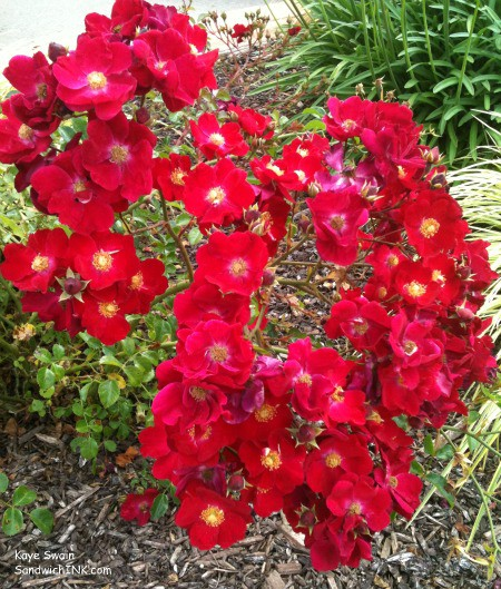 Gorgeous red flowers to lift the spirits of the Sandwich Generation granny nanny and turn the thoughts of her senior mom to gardening