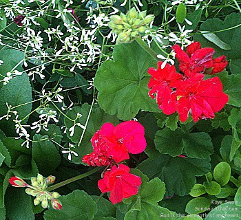I love these gorgeous red geraniums - perfect for senior gardening