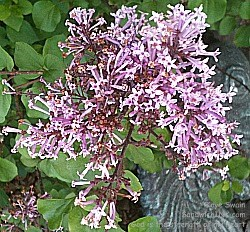 These pink lilacs smelled so wonderful to this Sandwich Generation granny nanny - great for senior gardening