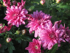 I love these gorgeous pink mums from my easy to use digital camera