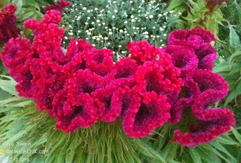 Red Velvet Celosia flower might make a great plant for a colorful senior gardening project