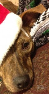 Awww - captured a cute Christmas granddog pix with my easy to use digital camera
