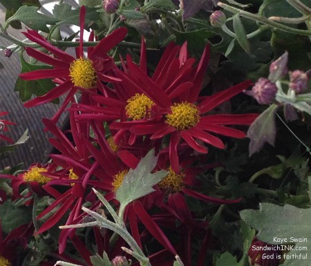 There are a few of my senior moms gardening projects still smiling - like these gorgeous red mums