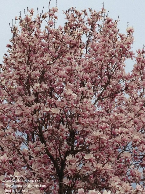 Lovely pink blooms to encourage the Sandwich Generation - shot with my easy to use digital camera