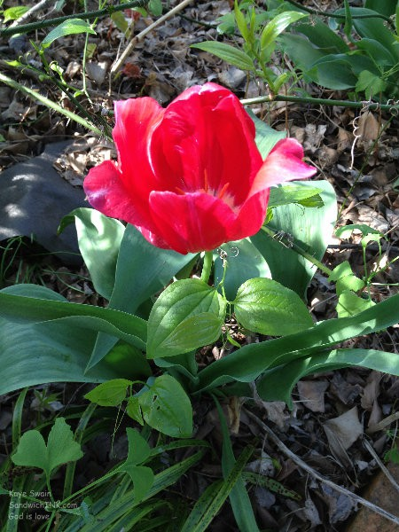 Senior gardening is just starting but these lovely red tulips are blooming on all their own