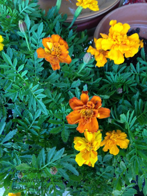 My senior mom is loving the help these marigolds have given in her gardening activities