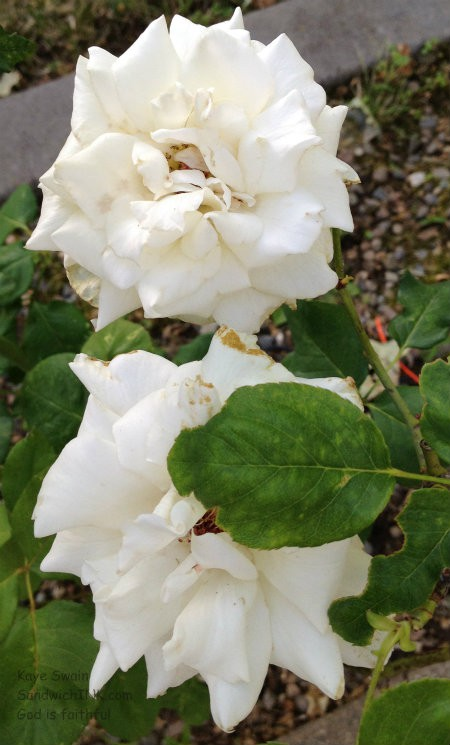 Even the slightly sad looking roses smelled sweet - just as we Sandwich Generation caregivers dealing with tough issues can still have a sweet attitude in the midst of chaos