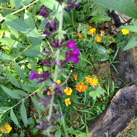 My senior mom is loving the marigolds and the butterfly bush in her gardening activities
