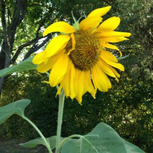The calm before the storm for the sunflower of the Sunflower House in my senior moms gardening activities