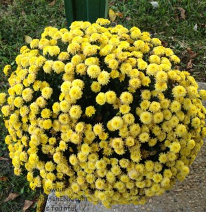 My Senior moms autumn mums look great too - fall fun indeed
