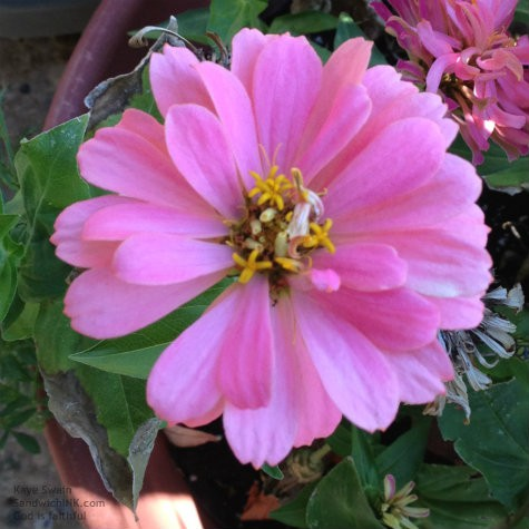On Tuesday the Sandwich Generation granny nanny shared the waning of my senior moms gardening activities - but check out this pink flower