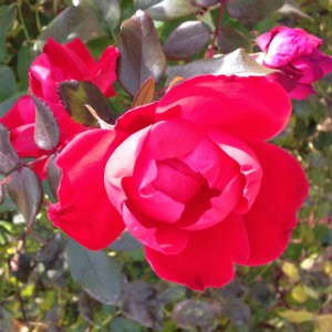 The Sandwich Generation granny nanny even found late red roses here and there - perfect for Rednesday