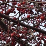 The leaves may be gone but these lovely red cherries put sparkle in the Sandwich Generation granny nannys eyes