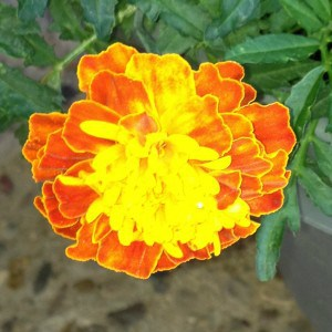 My senior moms plants are BLOOMING as these marigolds can attest to  FINAL
