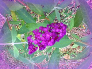 Purple-pink Butterfly Bush to put a smile on the face of multigenerational caregivers and their elderly parents 1