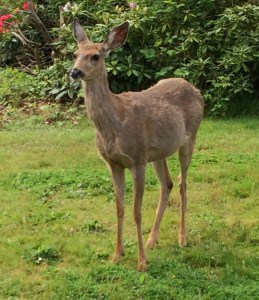 Deer are adorable but they can be challenging in your neighborhood-Kaye Swain REALTOR with Keller Williams