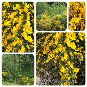 Forsythia flowers are blooming everywhere and Kaye Swain REALTOR and my senior mom are loving them