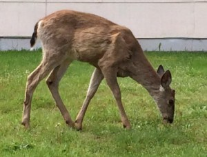 Here is another deer Kaye Swain real estate agent loves to see