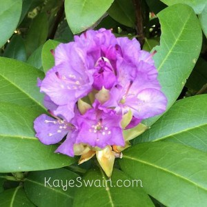 Purple rhododendrons put smiles on the face of Kaye Swain REALTOR as it does on my Roseville California senior moms face