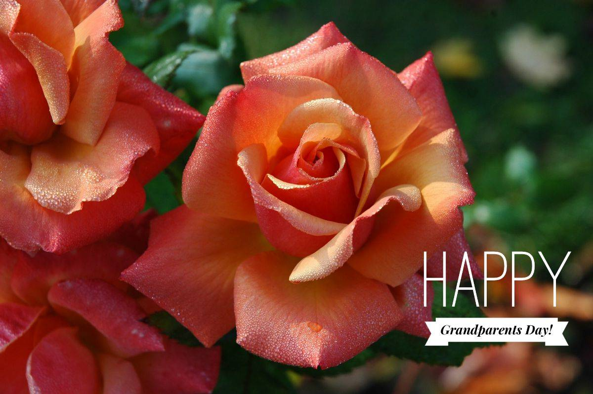Roses for you for a Happy Grandparents Day from fellow grandparent and Roseville CA neighborhood Real Estate Agent Kaye Swain fb