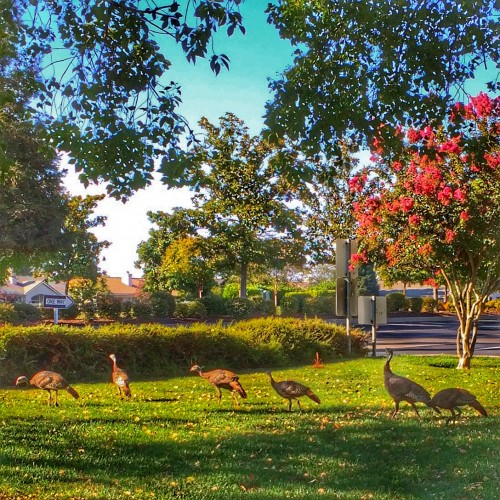 Wild Turkeys wander around West Roseville including one of the best golf retirement communities Sun City by Del Webb via Kaye Swain Placer Sacramento County social media blogger REALTOR