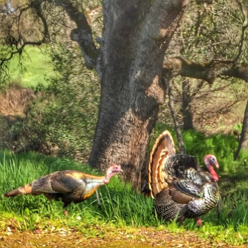 Kaye-Swain-Roseville-CA-REALTOR-blogger-sharing-cute-critters-in-West-Roseville-turkeys-768x768