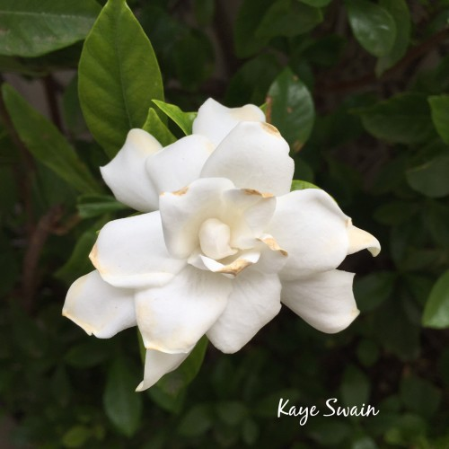 My senior mom grandkids love gardenias