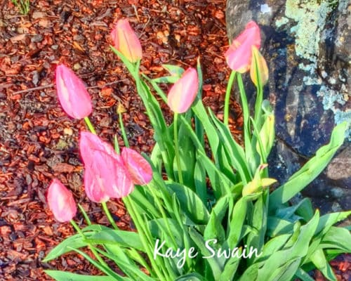 Pink tulips orange hint Kaye Swain Sun City West Roseville real estate agent