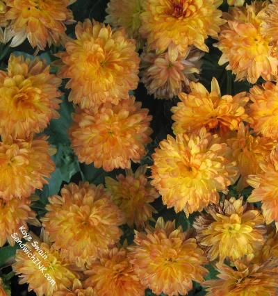 Senior and Boomer Autumn Gardening Joys From Fall Mums