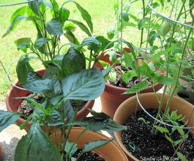 Delicious bell peppers and tomatos already growing - those vegetable gardening books are work well for her