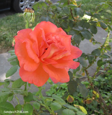 Gorgeous orange rose for Sweet Shot Tuesday - for all my senior gardening enthusiasts like my sweet mom - shot with an easy to use Canon Powershot digital camera