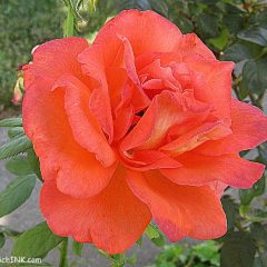 Gorgeous orange rose for Sweet Shot Tuesday - for all my senior gardening enthusiasts like my sweet mom - shot with my easy to use digital camera and tidied up a bit with Picnik
