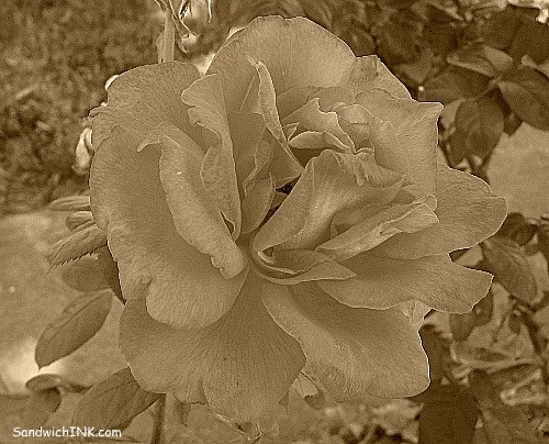 The same orange rose now looks like it is from my senior moms gardening scrapbook from back in the 30s using the sepia tool in Picnik