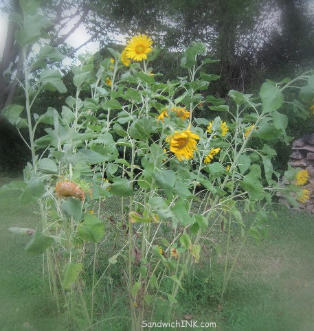 Love that the flowers in the Sunflower House activities for grandparents and their grandchildren bloom at different times