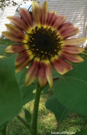 Love the colors of this blossom in the Sunflower House