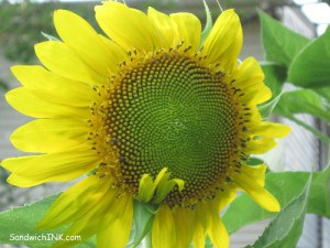 The Sunflower House blossoms photo with my easy to use digital camera do come out crisper and sharper than my iPhone 3