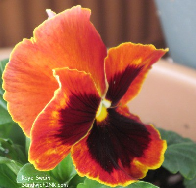Winter pansies can even have sweet autumn colors - love these flowers