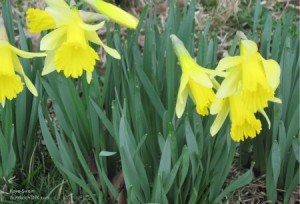 These daffodils were such encouragement for the sandwich generation granny nanny dealing with the issues of caring for the elderly parents and babysitting grandchildren