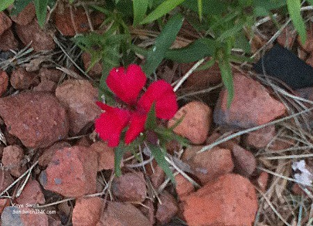 This cute red flower - taken with an easy to use digital camera and sharpened up with Picnik - is blooming in spite of rocks and weeds - and we busy baby boomers can too