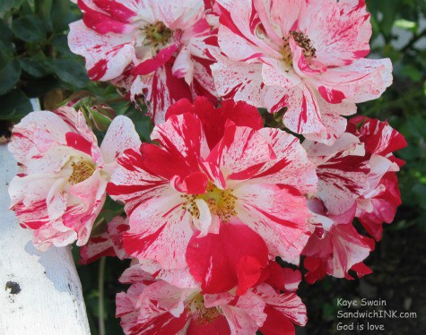 Loved these pretty red and white flowers I spotted when taking my granddog for a walk
