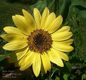 The Sandwich Generation granny nanny loves the bright and sunny yellow sunflower and the fun of taking lots of photos of them with my easy to use digital camera