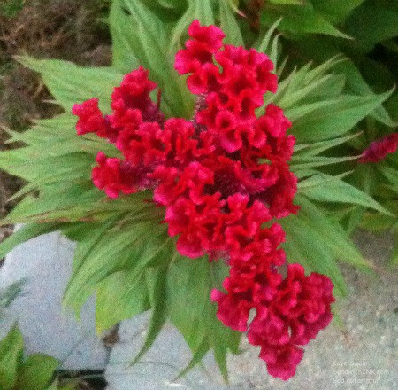 The Sandwich Generation granny nanny and senior mom think this Red Velvet Celosia Flower Plant is delightful to spot while on fun and physical senior citizen activities like walking
