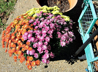 My senior moms garden wagons are a big help all year long including autumn and fall - and look at this lovely tri-color mums planter