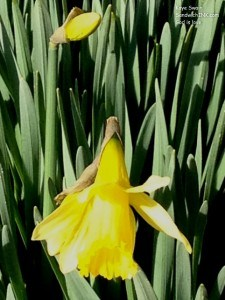 Daffodils for Valentines Day - shot with my easy to use digital camera - are definitely a sweet smile for the Sandwich Generation