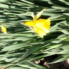 These Daffodils taken with my easy to use digital camera are just in time for a Valentines Day sweet smile for the Sandwich Generation