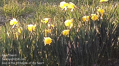 Lovely daffodils glistening in the sun are a cheery sight for the Sandwich Generation - shot by my easy to use digital camera