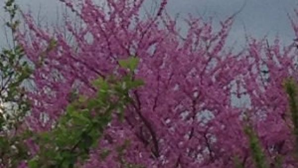 My Sandwich Generation family is surrounded by lovely shades of pink this spring