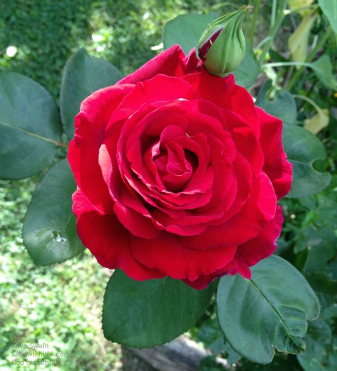 My Sandwich Generation family all think that the Mr Lincoln Rose is one of the most fragrant roses - and gorgeous as well